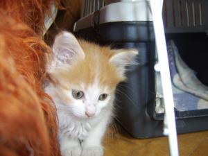 Подарявям бяло-оранжеви женски котета