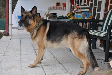 Намерена немска овчарка в Драгалевци на 28.11.2010г.