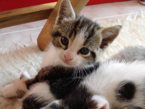 Подаряваме котенце на 2 месеца