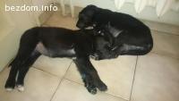 2 красиви черни кученца, спешно се нуждаят от обични стопани