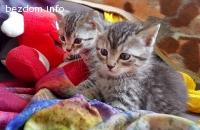 ОСИНОВЕНИ - 4 малки Бенгалски тигърчета търсят дом!