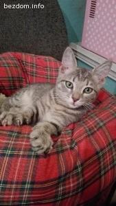 Подарявам красиво мъжко коте на 3 месеца в тигрова окраска