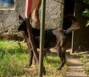 ПОДАРЯВАМ чисто чернo куче, смес с немска овчарка