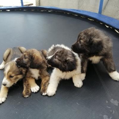 Подарявам 4 женски кученца