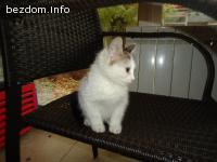 бяло котенце