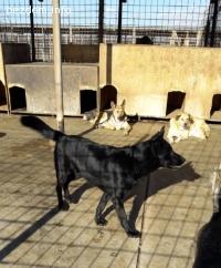 Черна немска овчарка /Канадски вълк търси дом -живее в приют