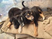 Малки кученца от Родопите