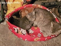 Подарявам четири пухкави котета