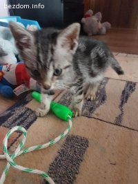 Коте с хигиенни навици.Обезпаразитено вътрешно и външно