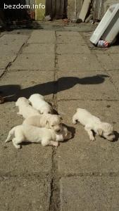 Подарявам малки кученца