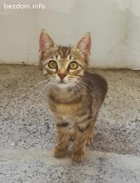Намерена сиамска котка