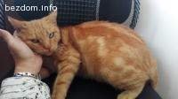 Подарявам красива женска котка мраморно таби червено