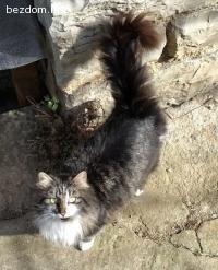 загубена черна котка с сиво-бяла окраска и рунтава опашка