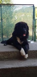 Намерено мъжко куче - Нюфаундленд или Каракачанка