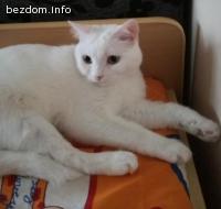Подарявам чисто бяло домашно коте