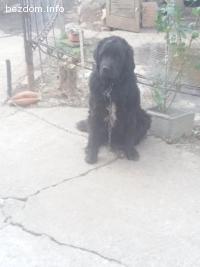Изгубено куче Нюфаундленд