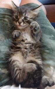 Подарявам котенце-мъжко