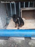 Изгубено куче Териер