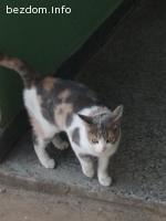 Трицветно коте
