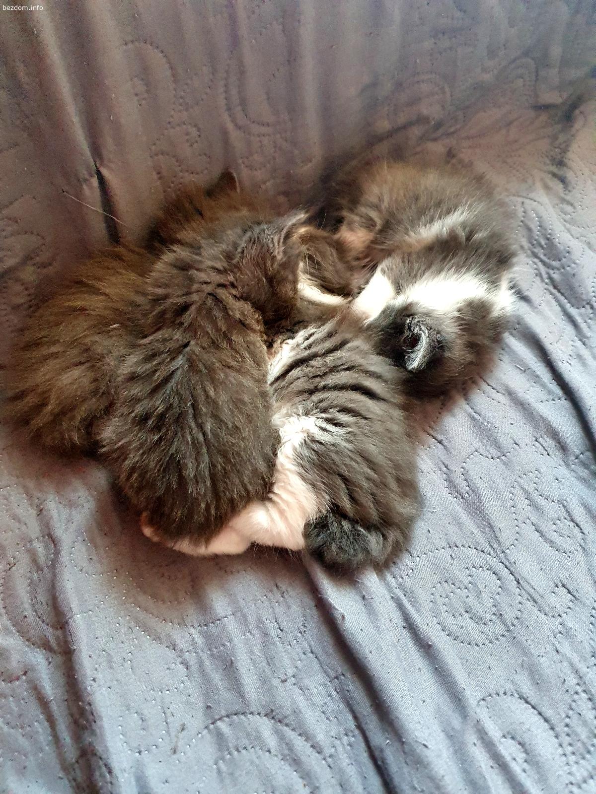 Дългокосмести котенца
