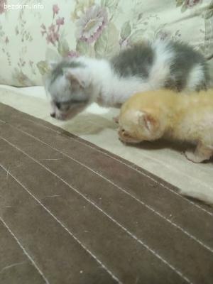 Три котета