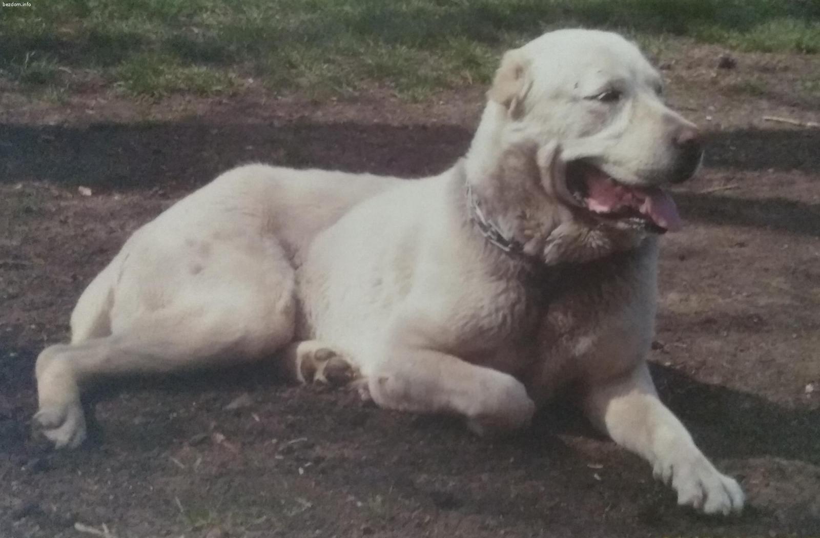 Изгубено куче - алабай