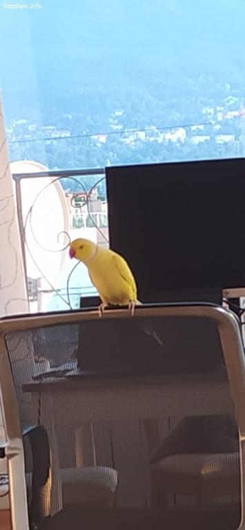 Намарен жълт папагал