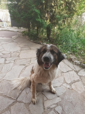Подарявам куче каракачанско