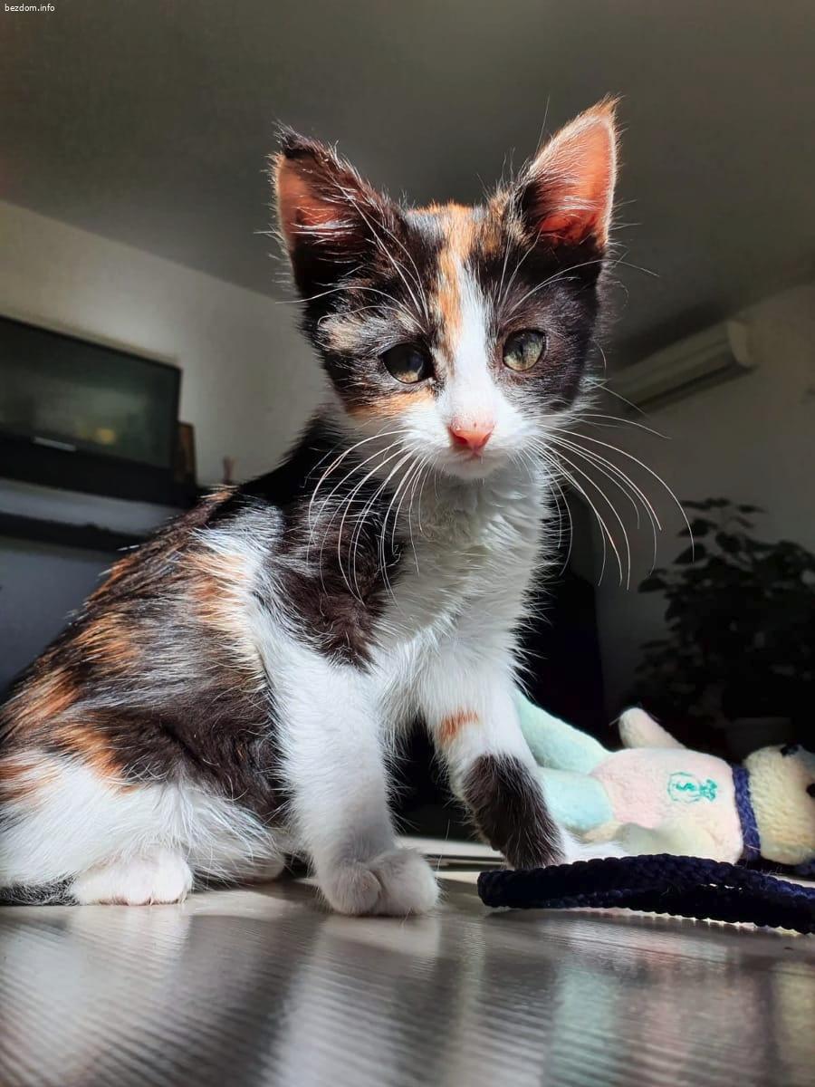 Изгубено женско трицветно котенце