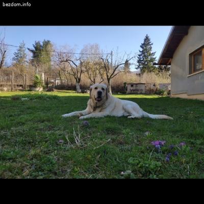Изгубено куче между лабрадор и голдън