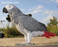 Изгубен папагал Жако