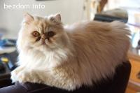 Изгубена персийска котка