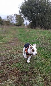 изгубено куче Джак ръсел