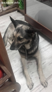 Изгубено куче обикаля по бул.Витошка