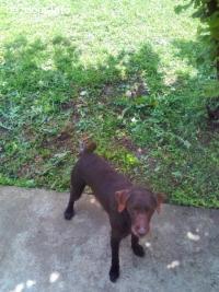 Изгубено куче порода Дратхаар