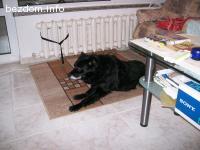 Изгубе трикрако черно куче