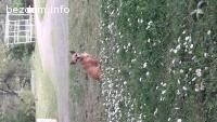 Изгубено кученце чихуахуа