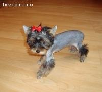 Изгубено кученце Йоркширски териер