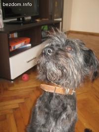 Намерено дребно черно мъжко куче