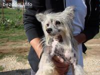Намерено Китайская хохлатая кучета