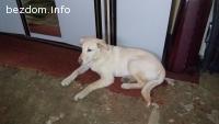 Намерено куче Голдън Ретривър