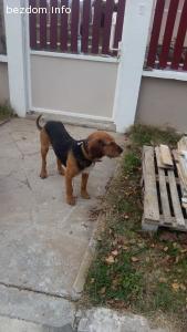 Намерено куче порода барак