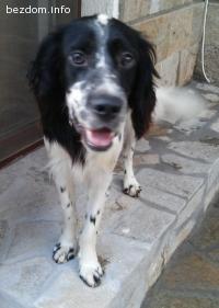 Намерено кученце сетер (английски спрингер шпаньол)