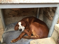 Намерено ловджийско женско куче -