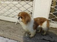 Намерено женско куче - пекинез