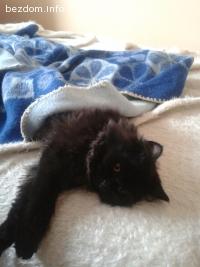 Подарявам черно мъжко коте