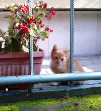 Подарявам малко коте, мъжко, оранжево, на 2 месеца, Плевен