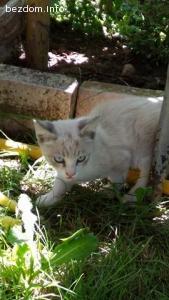Подарено! Подарявам мъжко коте с красиви сини очи!