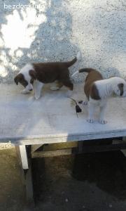 Подарявам много мили и красиви кученца отлични пазачи!