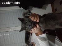 Подарявам руска синя котка